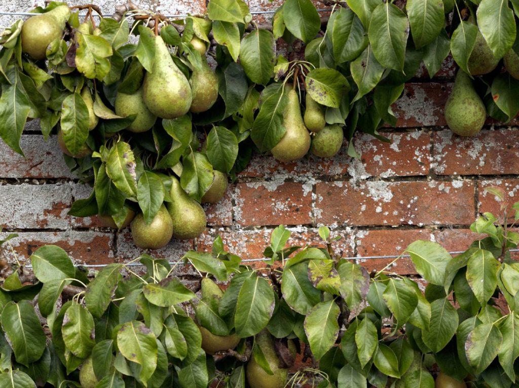warm wall – great fruit